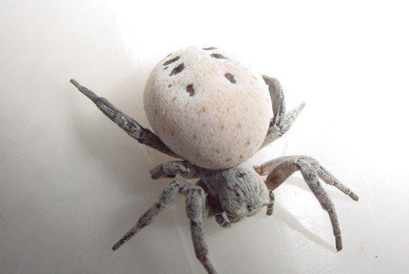 Loài nhện nôn ruột cho con ăn gây sốc