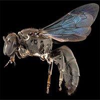 Loài ong quý hiếm của Úc tưởng tuyệt chủng gần 1 thế kỷ bất ngờ tái xuất
