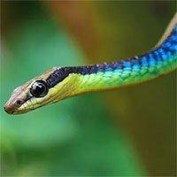 Loài rắn cây độc đáo ở Úc có thể… nhảy từ cây này sang cây khác