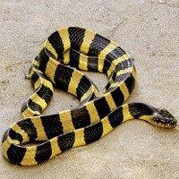 Loài rắn độc của Việt Nam khiến lính Mỹ dựng tóc gáy