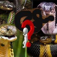 Loài rắn độc nhất Việt Nam: Cạp nong, cạp nia hay hổ mang chúa cũng không có
