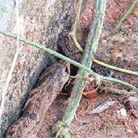 Loài rắn kinh dị chuyên giết cóc để ăn nội tạng