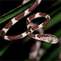 Loài rắn lạ siêu mỏng có biệt tài... ném đầu để săn mồi