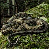 Loài rắn lớn nhất Nhật Bản có thể