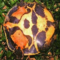 Loài rùa
