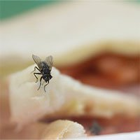 Loài ruồi -