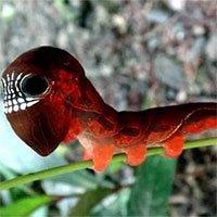 Loài sâu bướm này bắt chước đầu lâu đáng sợ để đe dọa những kẻ săn mồi có ý định tấn công chúng