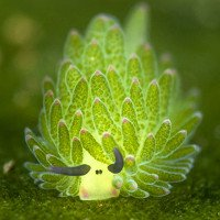 Loài sên biển giống cừu có khả năng quang hợp