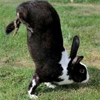 Loài thỏ kỳ lạ chỉ di chuyển bằng cách… trồng chuối
