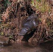 Loài thú có đuôi của hải ly, mỏ vịt ngoại cỡ và chân hải cẩu có độc