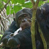 Loài tinh tinh có sở thích thức ăn rất tinh vi