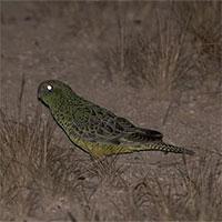 Loài vẹt siêu hiếm đang khiến các nhà khoa học phải bó tay