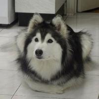 Loạt ảnh cho thấy Husky mới là giống chó kỳ lạ nhất trên đời