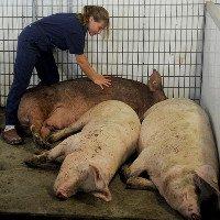 Lợn mới là loài hạnh phúc nhất?