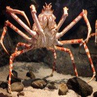 Lựa chọn đúng thời điểm, cá đuối dễ dàng xẻ thịt cua nhện khổng lồ