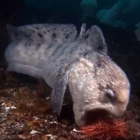 Lươn sói - kẻ săn mồi bậc thầy dưới đáy biển