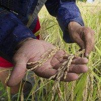Lương thực nghèo chất dinh dưỡng do tình trạng ấm lên toàn cầu
