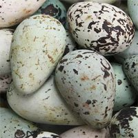 Lý giải được tại sao trứng một số loài chim biển lại có hình dạng quả lê