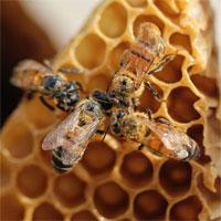 Mật ong ''thuần chay'' sử dụng công nghệ để chế tạo thay vì dùng những con ong