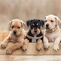 Màu lông có thể ảnh hưởng đến tuổi thọ của chó