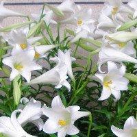 Mê mẳn ngắm hoa loa kèn tháng tư trắng muốt