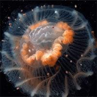 Mê mẩn ngắm loài sứa cực đẹp dưới lớp băng Nam Cực