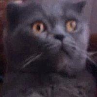 Mèo ngã vật ra ghế khi ngửi mùi sầu riêng