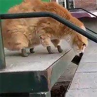 Mèo nhà được lắp chân giả đi lại sẽ ra sao?