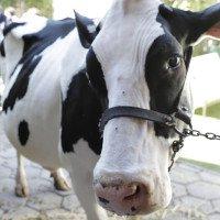 Microsoft có ứng dụng cho phép nông dân chat được với bò