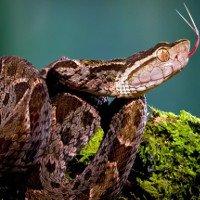 Mò vào ổ nhện kiếm ăn, loài rắn nguy hiểm nhất Costa Rica bị giết không thương tiếc
