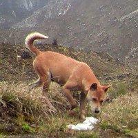 Mới phát hiện ra loài chó hiếm và cổ xưa nhất Trái Đất vẫn còn sống khỏe