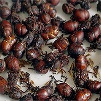 Món kiến mông to - đặc sản ngon khó cưỡng của Colombia