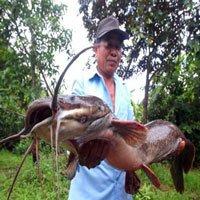 Một nông dân Hậu Giang bắt được cá trê 'khủng' dài hơn 1 mét
