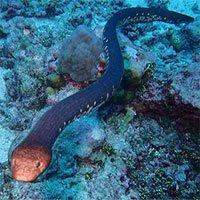 Một số loài rắn biển có thể cảm nhận ánh sáng nhờ… đuôi