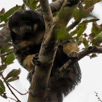 Một trong những loài vật bí ẩn nhất rừng Amazon lần đầu tiên được