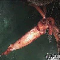 Mực khổng lồ dài 4m nổi trên mặt nước gây kinh ngạc