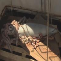 Mực khổng lồ dài 5,5 mét sa lưới tàu cá Ireland