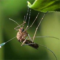 Muỗi cái không chịu