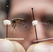 Muỗi khổng lồ xuất hiện ở Mỹ
