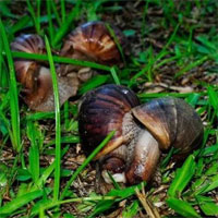 Mỹ mất tới 10 năm để tiêu diệt loài ốc sên khổng lồ châu Phi gặm nhấm nhà cửa