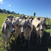 Mỹ nghiên cứu tạo bò chịu nhiệt làm thực phẩm tương lai