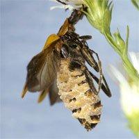Nấm biến bọ cánh cứng thành xác sống để dụ con mồi
