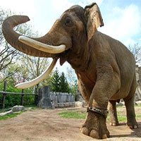Nặng hàng tấn nhưng voi châu Á hiếm khi bị thừa cân