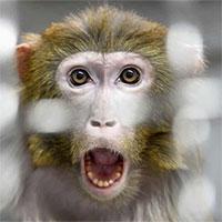 NASA gây phẫn nộ vì giết 27 con khỉ trong cùng ngày