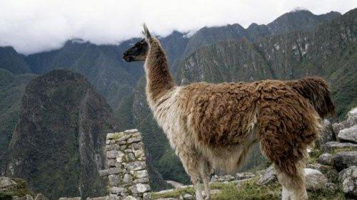Nền văn minh Inca được hình thành từ... phân lạc đà