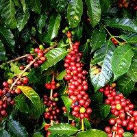 Nếu ấm lên toàn cầu cứ tiếp diễn thì cà phê sẽ tuyệt chủng vào năm 2080
