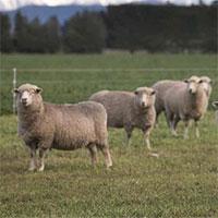 New Zealand lai tạo loại cừu ít xì hơi để ngăn biến đổi khí hậu