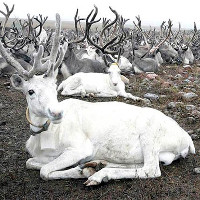 Nga tiêu hủy 250.000 con tuần lộc để phòng ngừa bệnh than