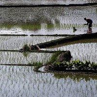 Ngâm gạo qua đêm giúp giảm nguy cơ nhiễm hóa chất độc hại