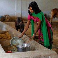 Nghề kỳ lạ ở đất nước chuộng chất thải của bò